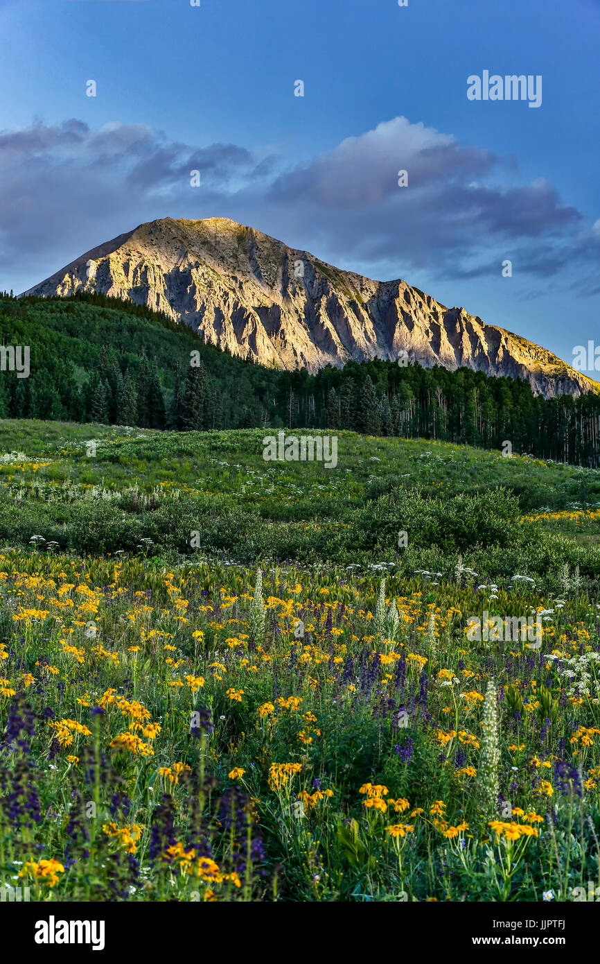 Wildflowers and Gothic Mountain (12,631 ft.), Gunnison National Forest, near Crested Butte, Colorado USA - Stock Image