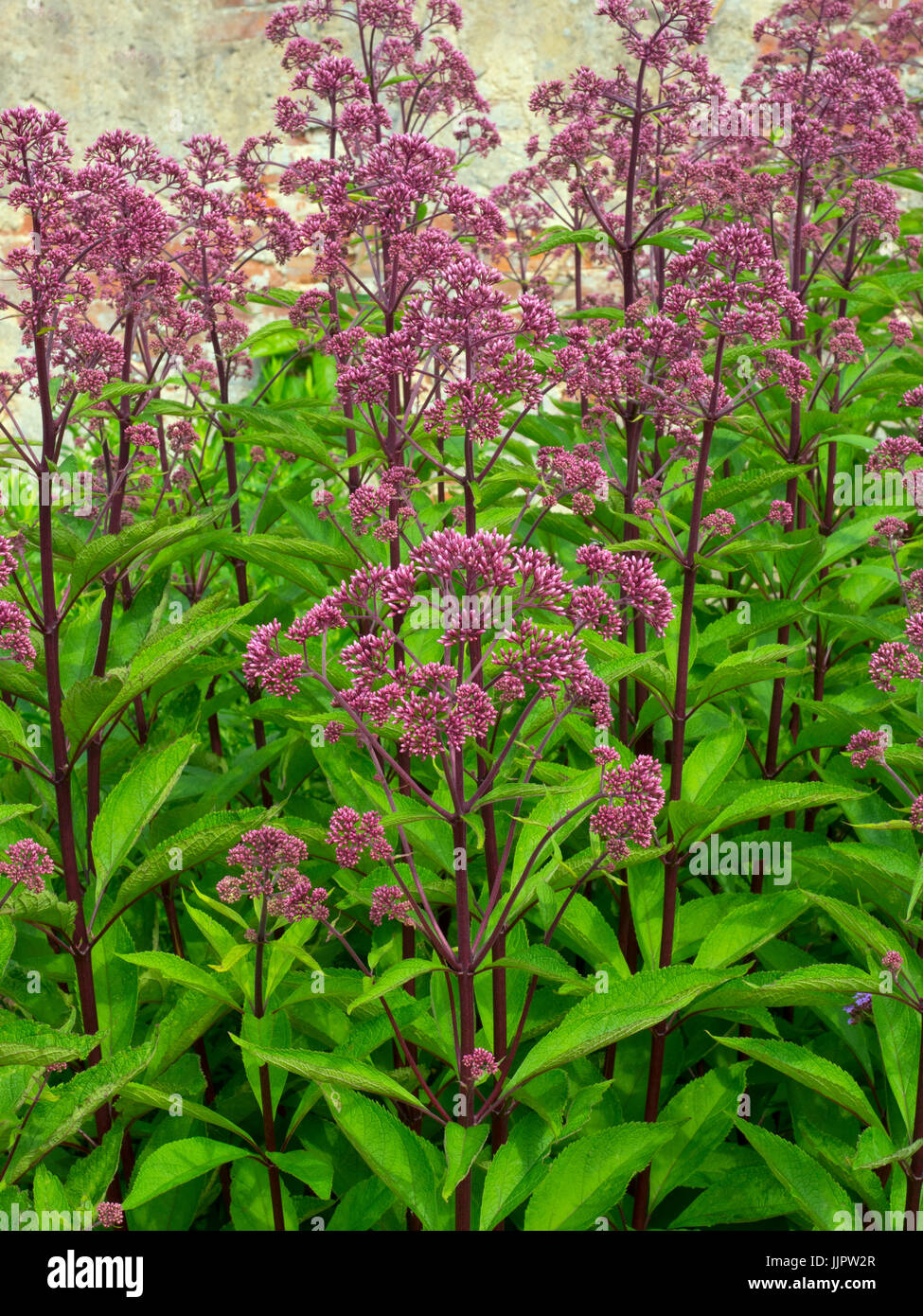 Eupatorium maculatum or Joe Pye weed 'Gateway' in garden border - Stock Image