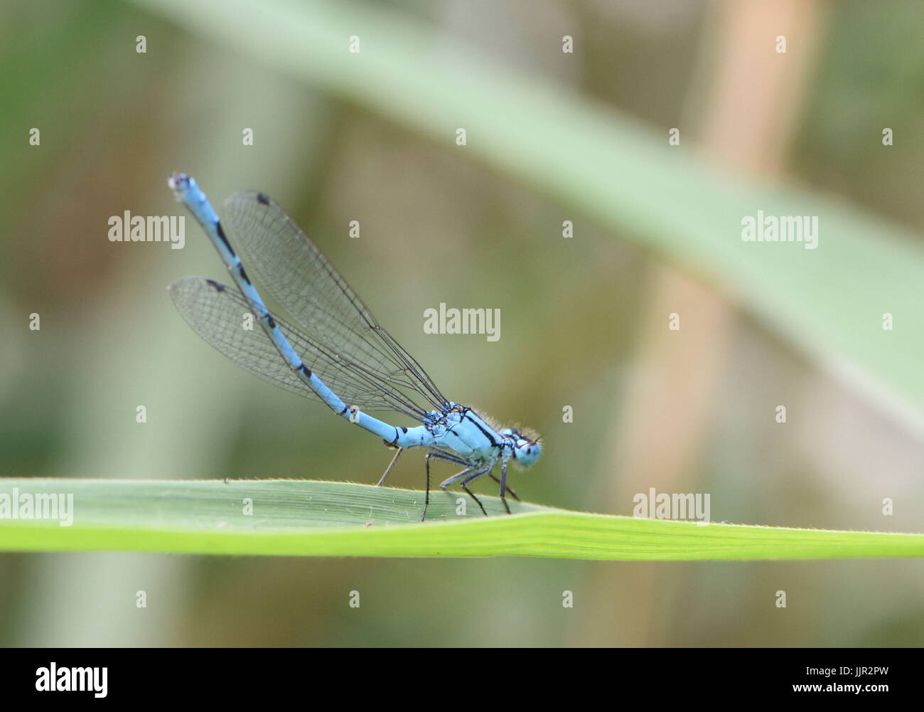 A male common blue damselfly (Enallagma cyathigerum) rests on a blade of grass in obelisk posture to prevent overheating. - Stock Image