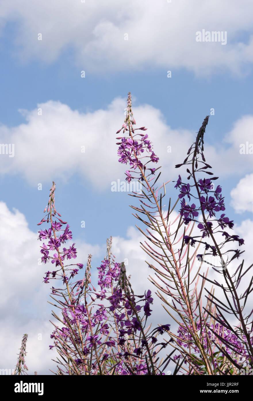 Flowers of Rosebay willowherb (Chamaenerion angustifolium). Bedgebury Forest, Kent, UK. Stock Photo