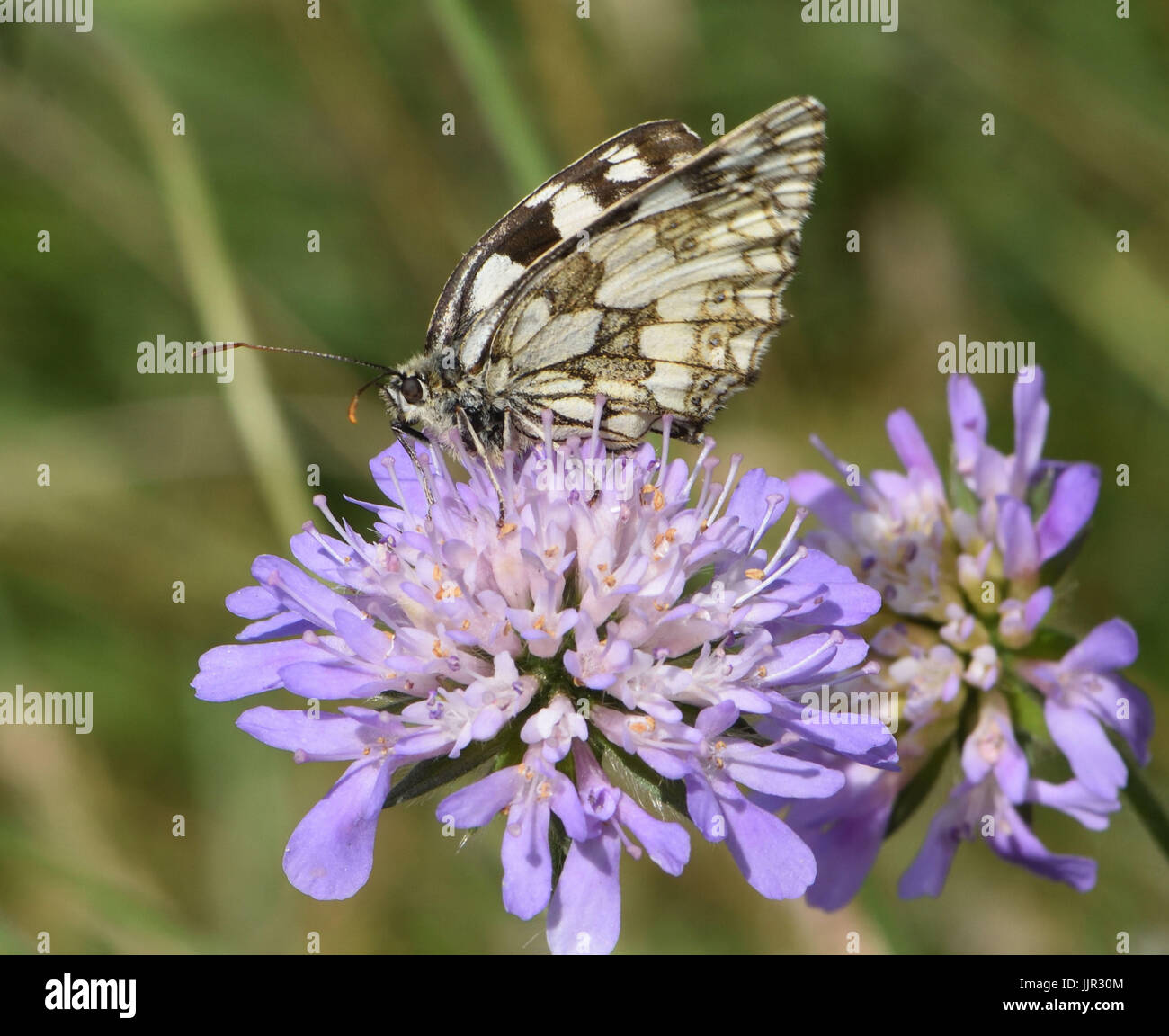A black and white marbled white butterfly (Melanargia galathea) with closed wings takes nectar from a Field Scabious - Stock Image