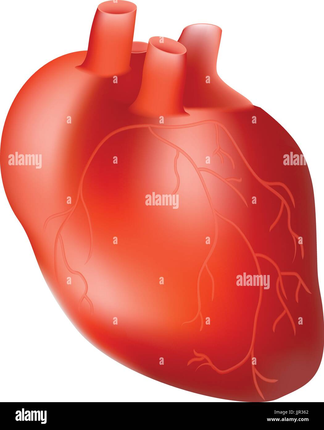 Human heart internal organ anatomy concept isolated on a white human heart internal organ anatomy concept isolated on a white background realistic vector illustration ccuart Gallery