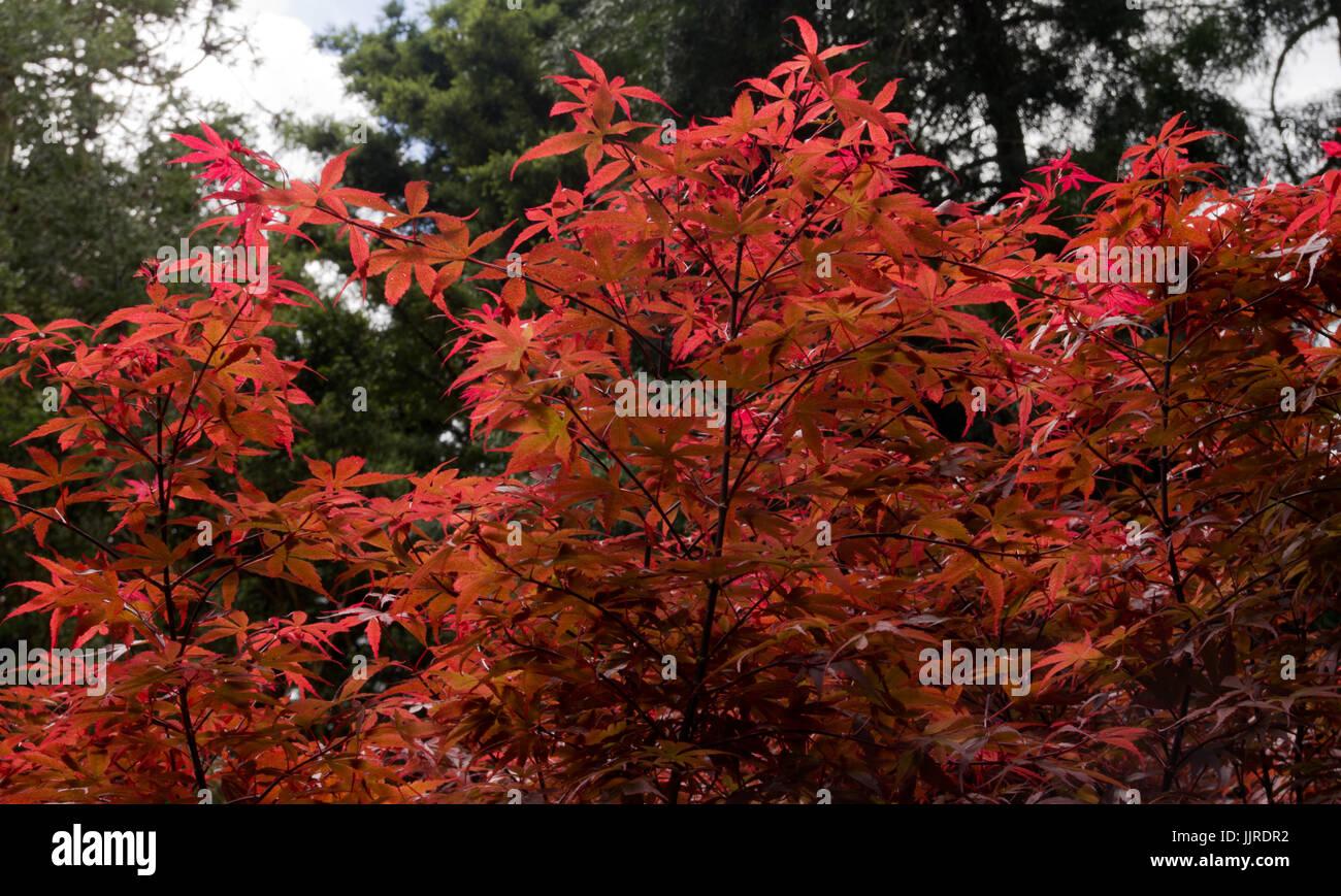 Acer Palmatum Skeeters Broom Stock Photo 149262486 Alamy