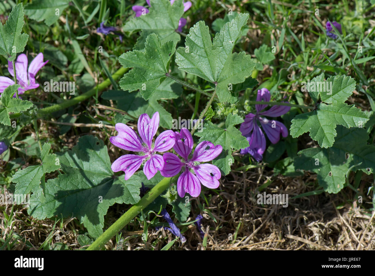 Mauve purple flowers with dark veins on a prostrate form of common mallow, Malva sylvestris, Berkshire, June - Stock Image