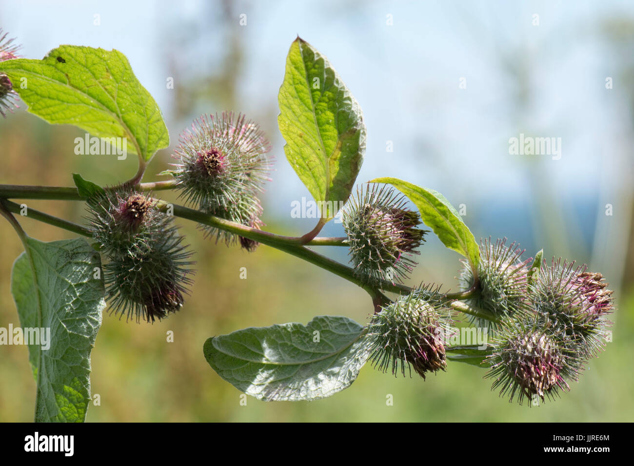 Lesser burdock, Arctium minus, flowers dying and producing seeds covered in small hooks like velcro which help in - Stock Image