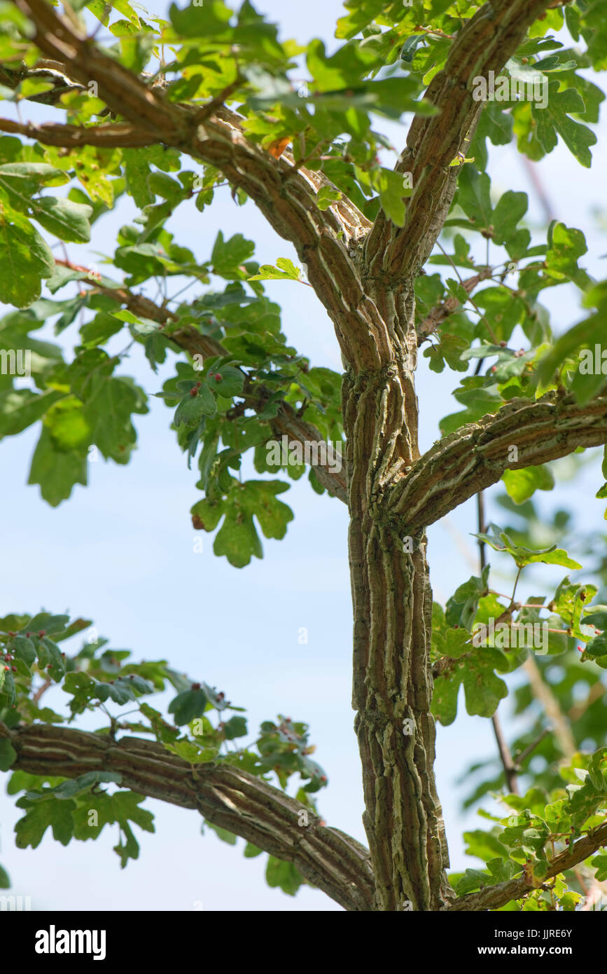 Deep Bark Patterns On A Young Field Maple Tree Acer Campestre