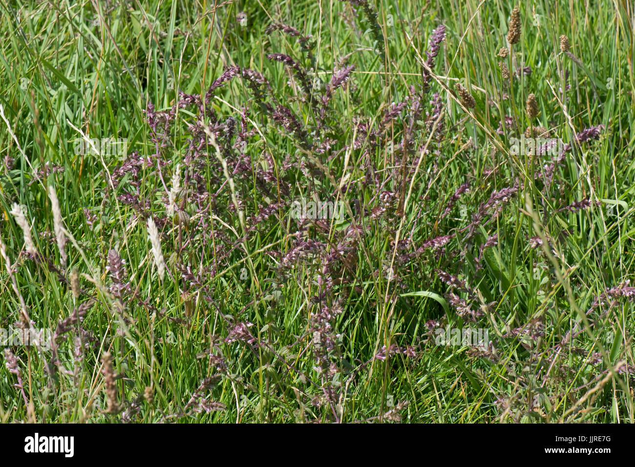 Red bartsia, Odontites vernus, flowering hemiparasite in grassland, Berkshire, July - Stock Image