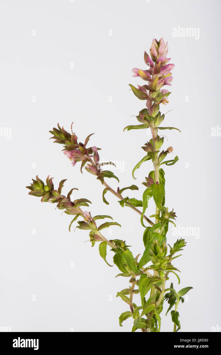 Flower spike of red bartsia, Odontites vernus, a partial parasite of grass against a white background, Berkshire, - Stock Image