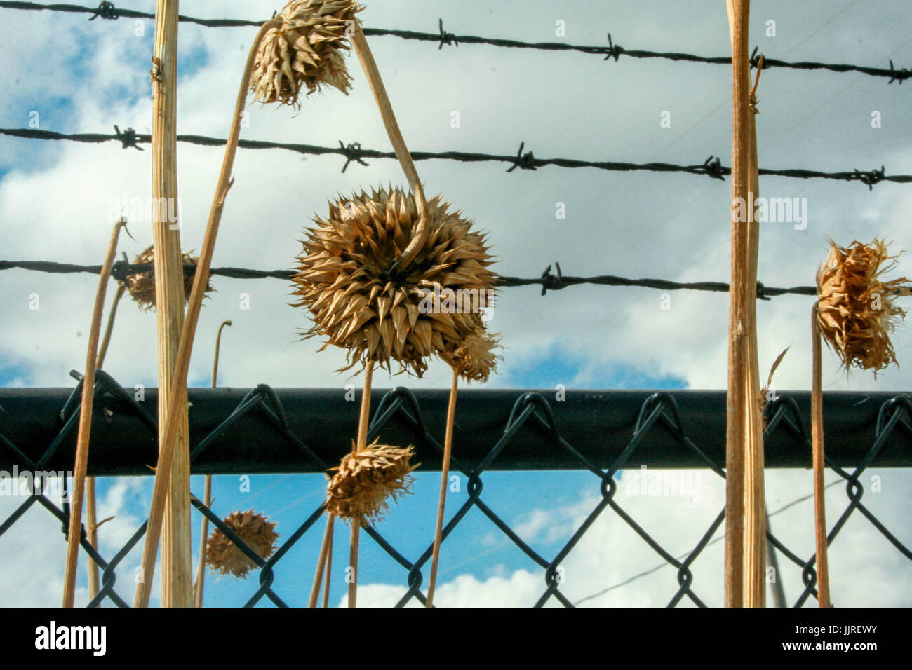 Dried Plants and Barbed Wire Fence - Stock Image