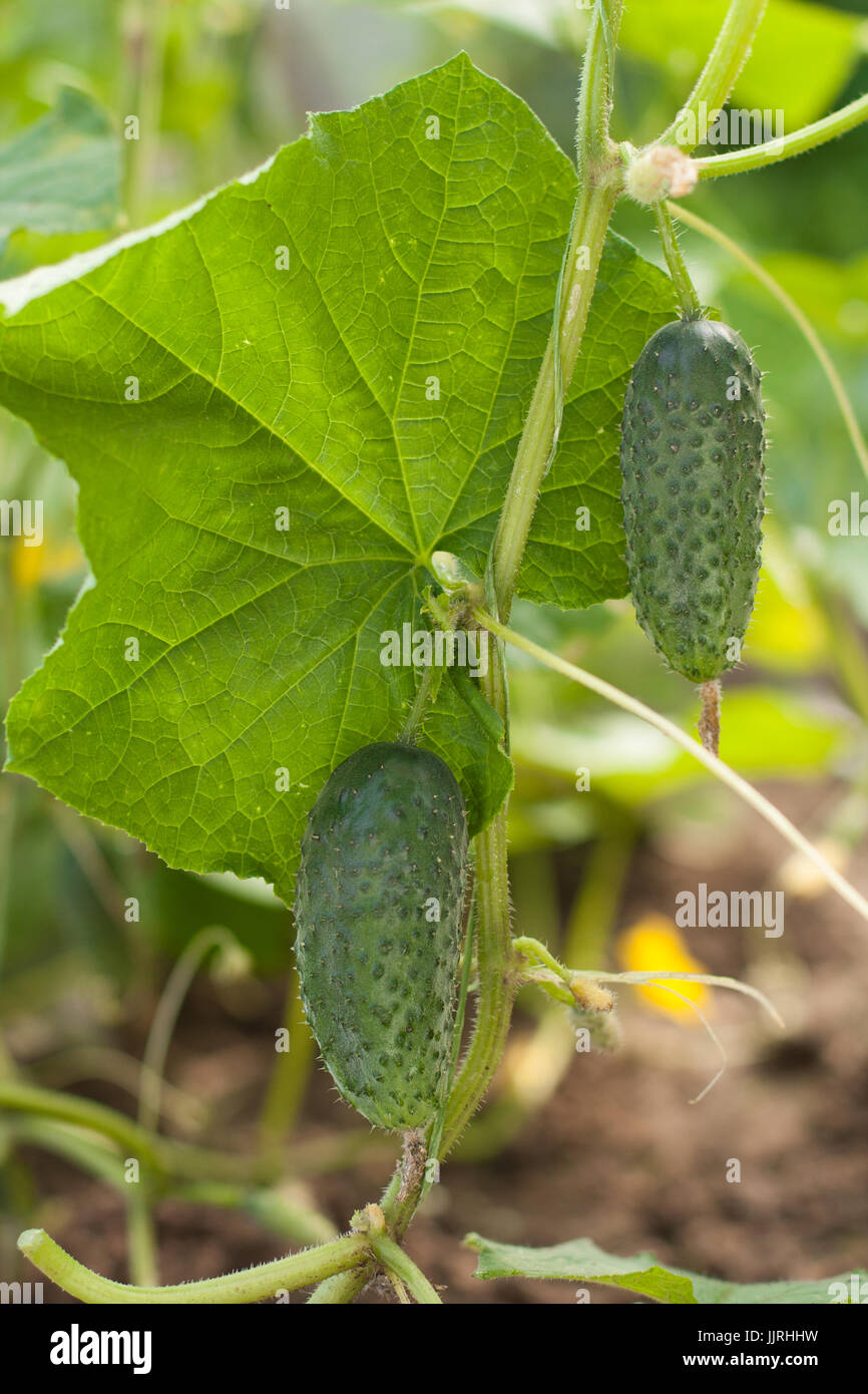 Close-up Species Of Green Plants Of Cucumbers On Ogorod In Summertime. Stock Photo