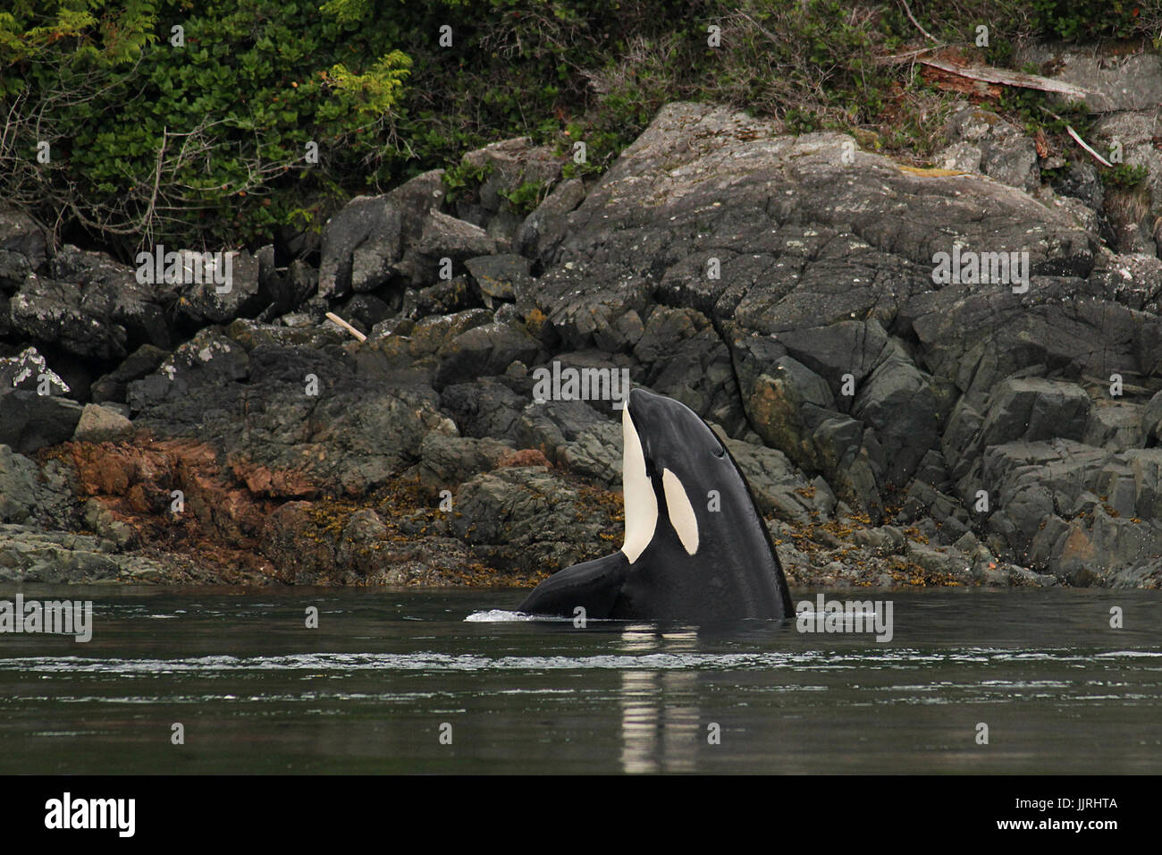 Northern resident orca whale spyhopping - Stock Image