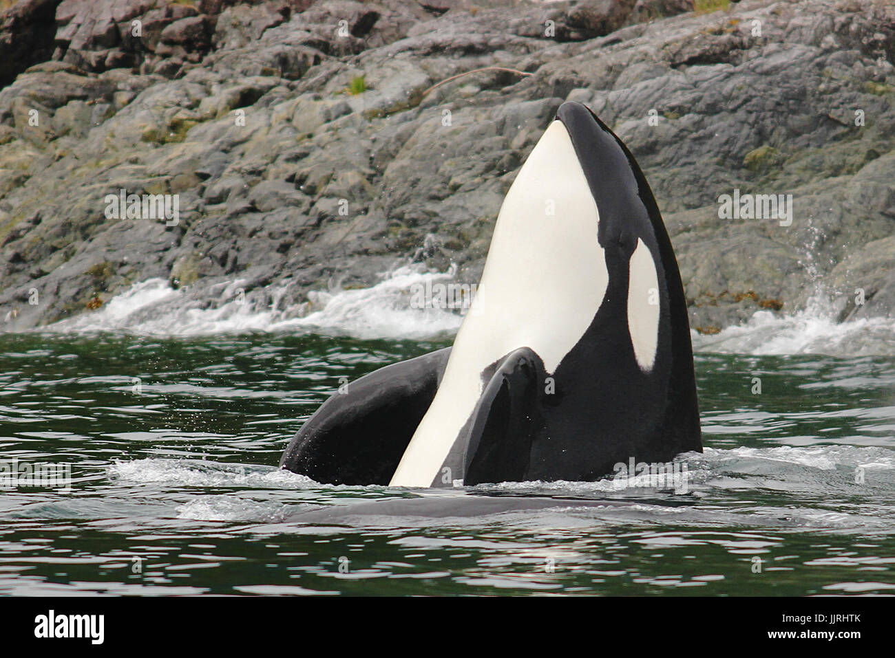 Transient killer whale spyhopping - Stock Image