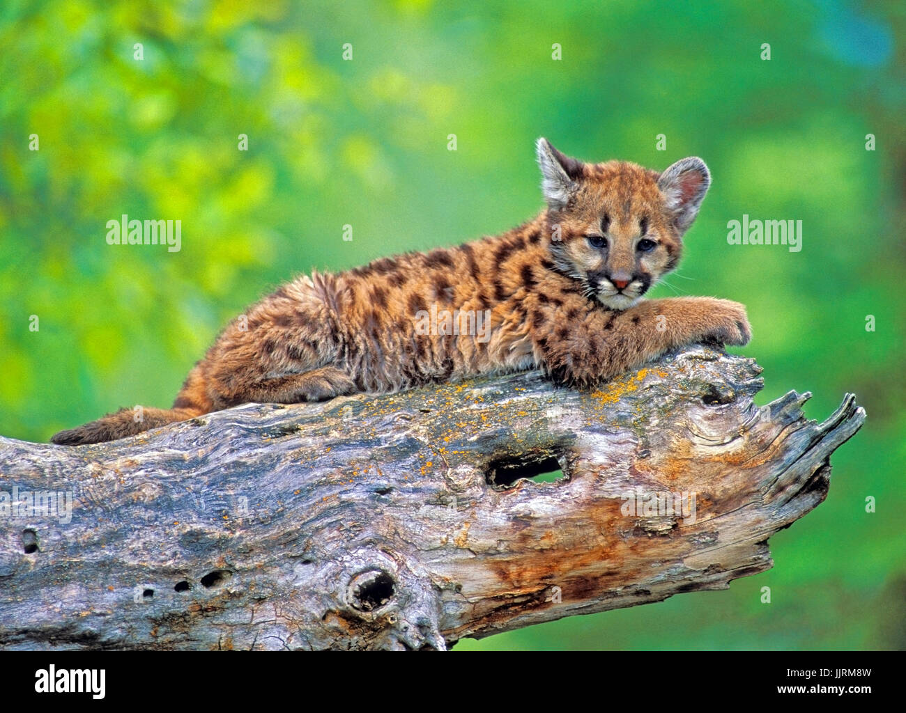 Mountain Lion Baby laying on broken tree trunk - Stock Image