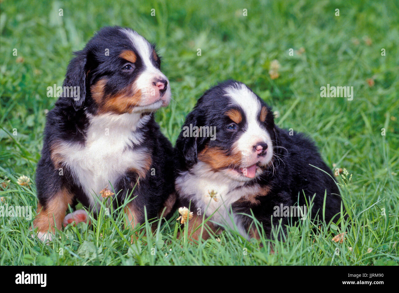 Bernese Mountain Dog, two puppies sitting together in grass - Stock Image