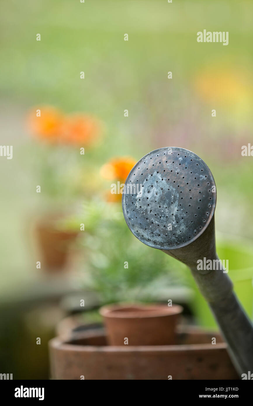 Watering can sprinkler rose. - Stock Image