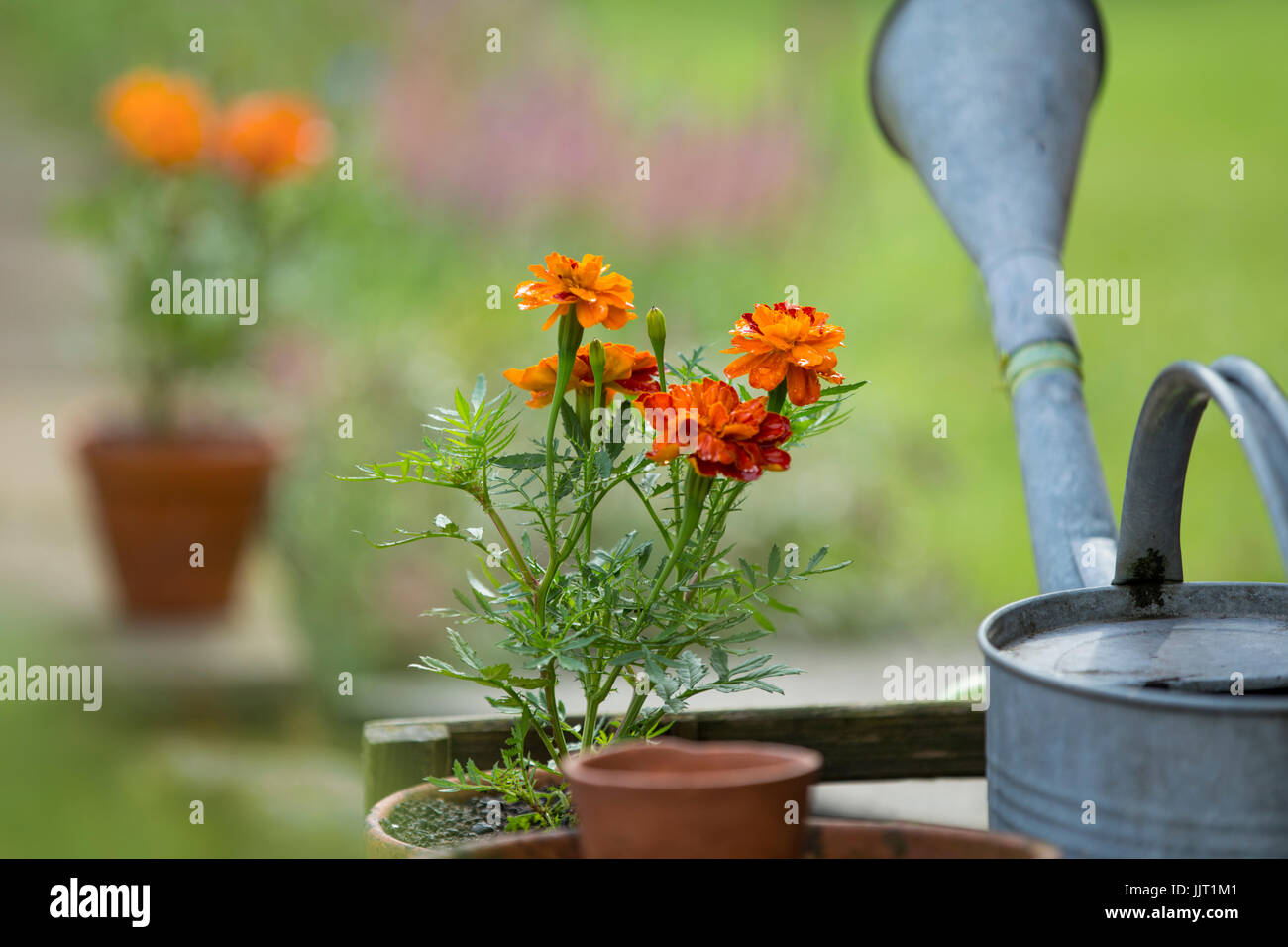 Tagetes in clay pots. - Stock Image