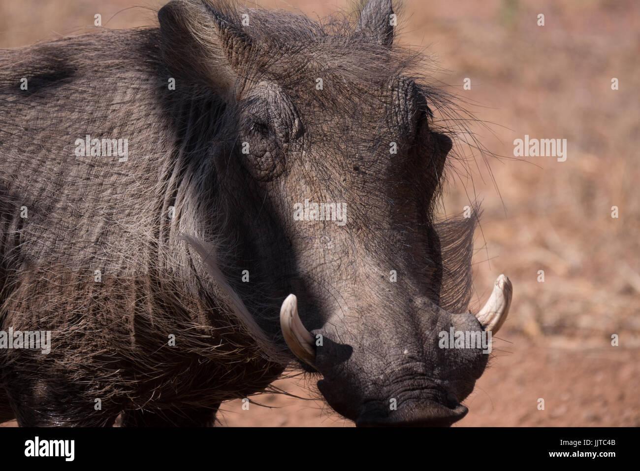 Warthog, Phacochoerus (sp), in Namibia, Africa - Stock Image