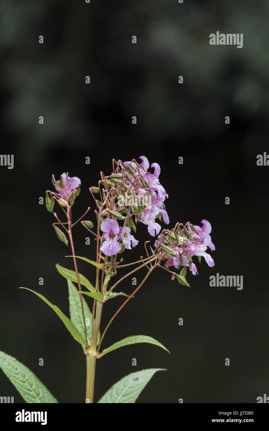 Himalayan Balsam (Impatiens glandulifera) in flower Stock Photo