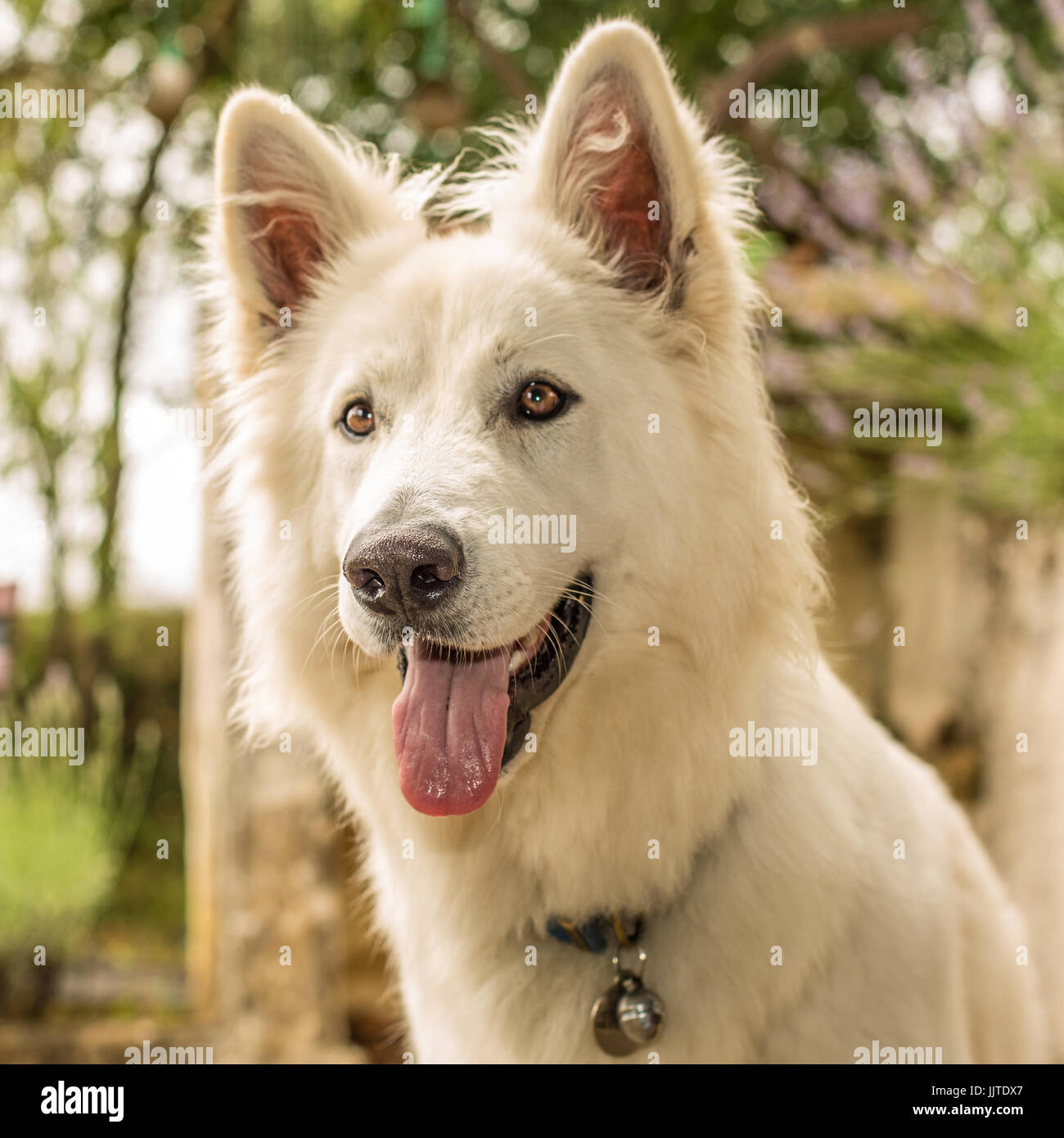 A Berger Blanc Suisse dog (or white shepherd) with tongue out looking happy and alert. - Stock Image