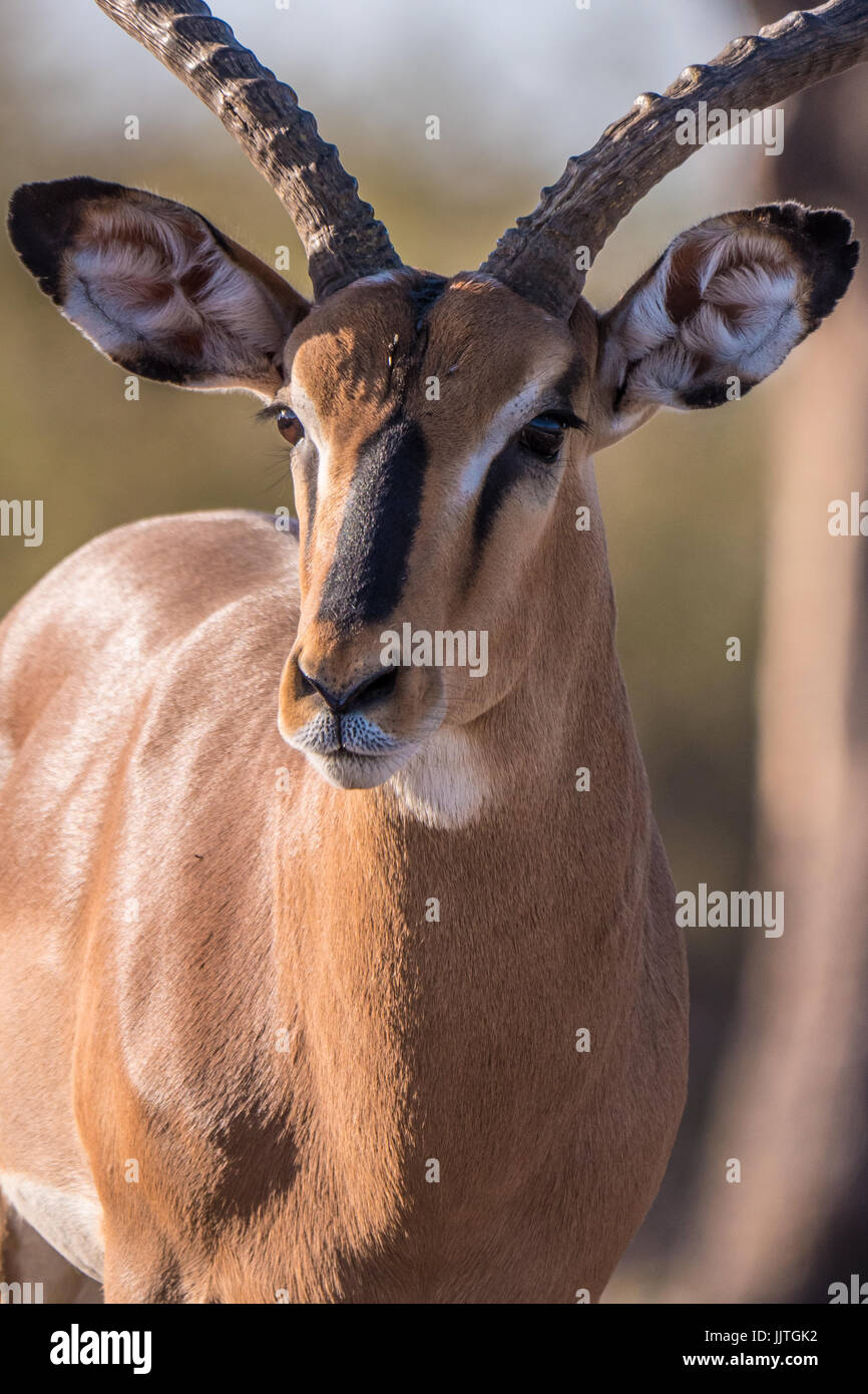 African male impala, Aepyceros melampus, from Namibia, endemic to eastern and southern Africa. - Stock Image