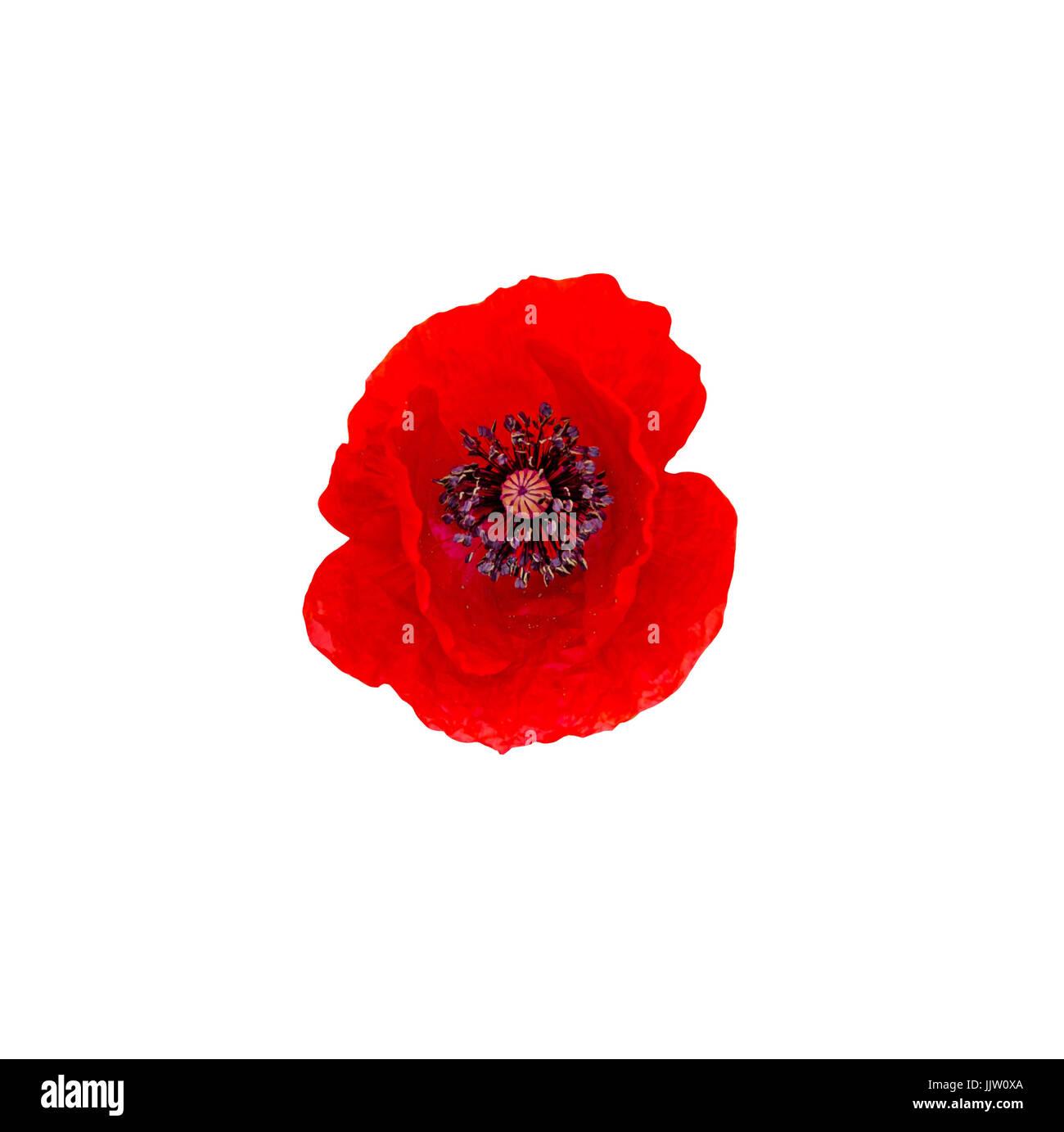 Red wild flower of Papaver rhoeas (corn poppy, corn rose, field poppy), isolated on white. - Stock Image