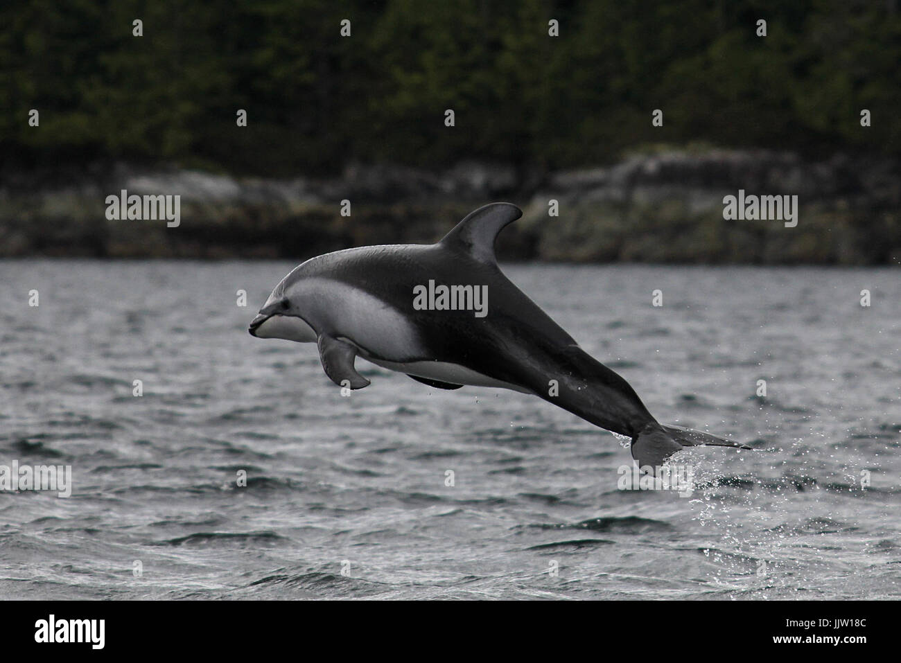 Pacific White Sided Dolphin jumping - Stock Image
