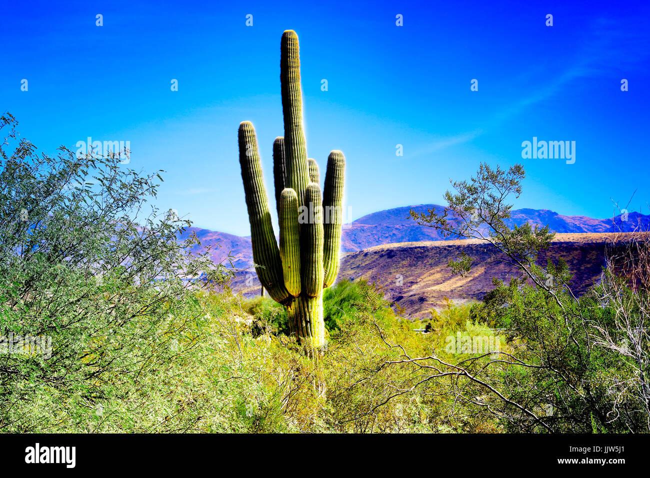 Mighty Cactus of Phoenix - Stock Image