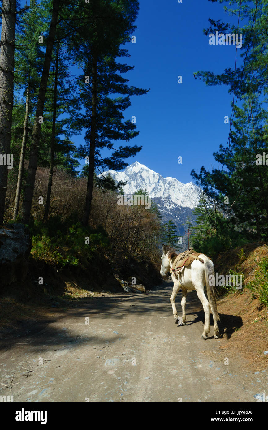 White horse on the trail between Thanchok and Chhtipu, on the Annapurna circuit, Nepal. - Stock Image