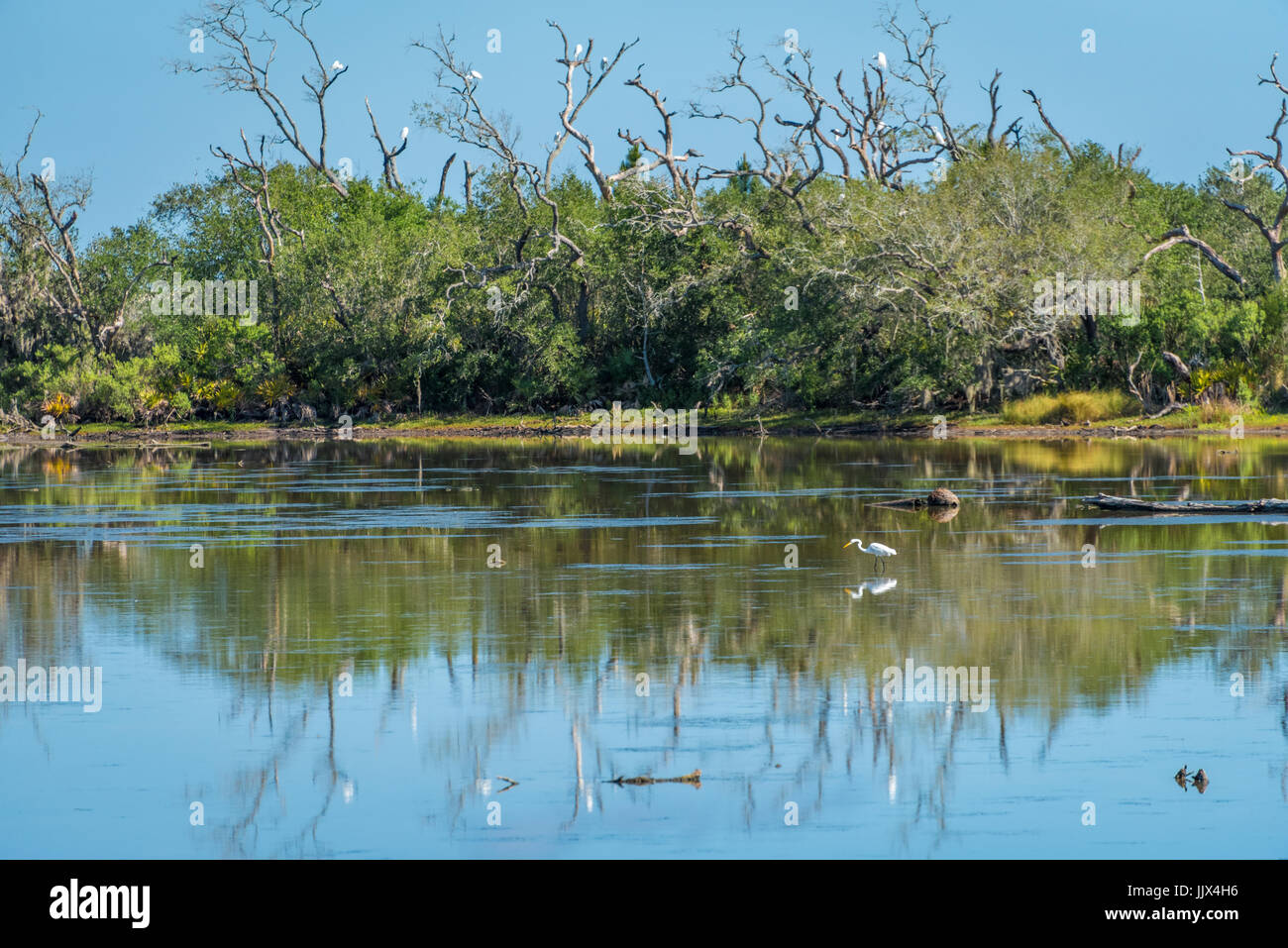 Great egrets gather at Simpson Creek in the Timucuan Ecological and Historical Preserve on Big Talbot Island in - Stock Image