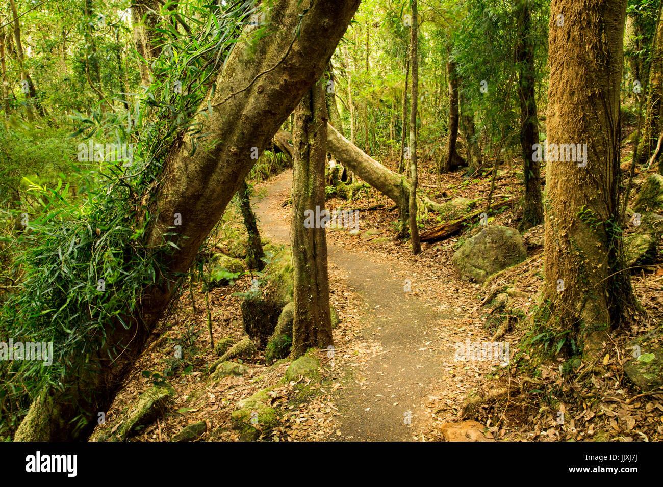 Rainforest walk in Springbrook National Park, Gold Coast Hinterland, Queensland, Australia - Stock Image