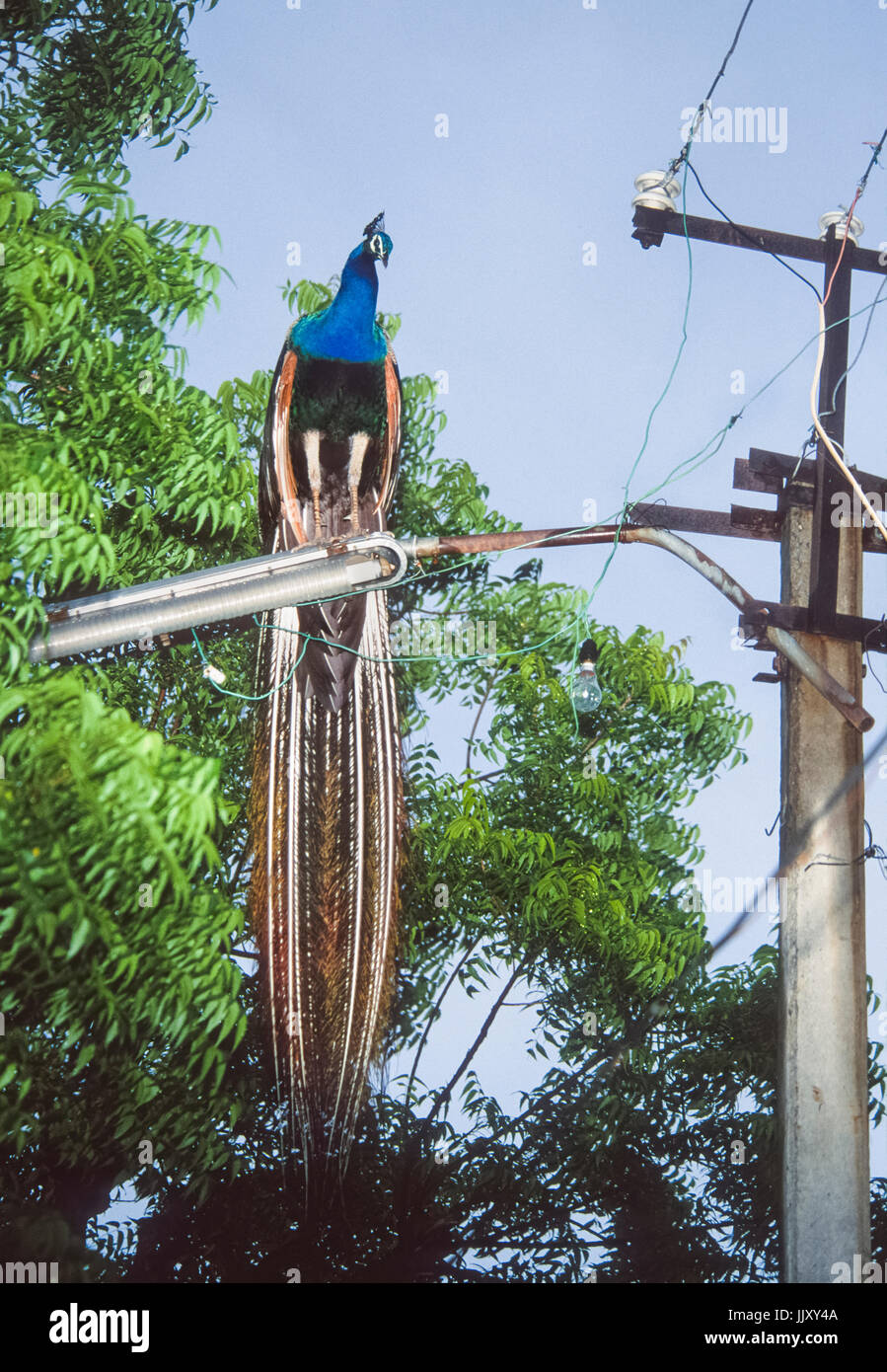 male Indian Peacock or Peafowl, (Pavo cristatus), perched on street light, Bharatpur, Rajasthan, India - Stock Image