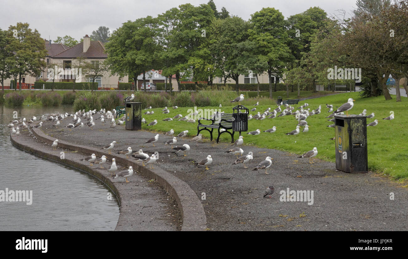seagulls like a scene from Hitchcock the birds public park takeover - Stock Image