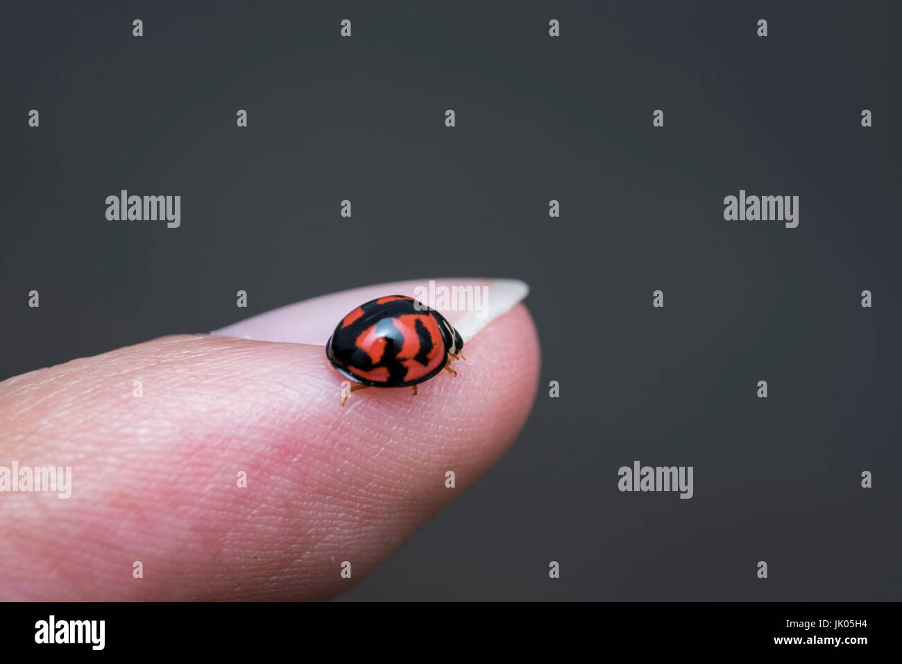Small ladybug walking on a human finger - Stock Image