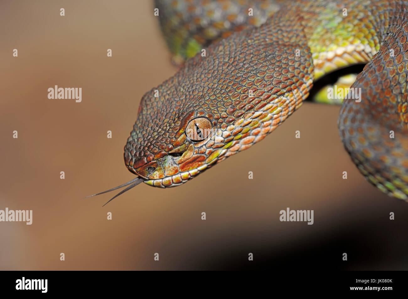 Bamboo Viper Flickering Its Tongue Trimeresurus Gramineus Stock