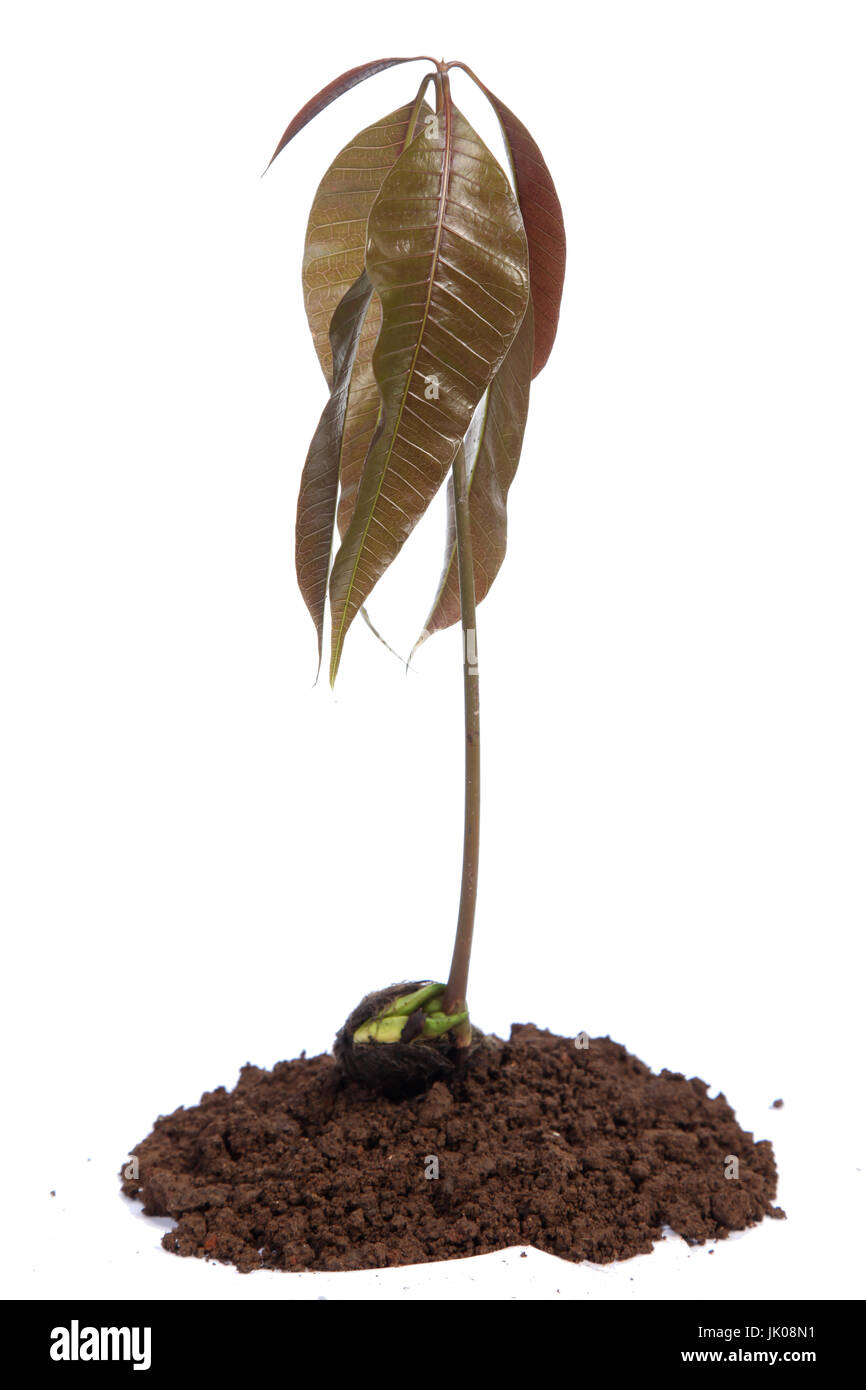 Mango Seedling With Seed And Fresh Leaves Isolated On White Stock Photo Alamy