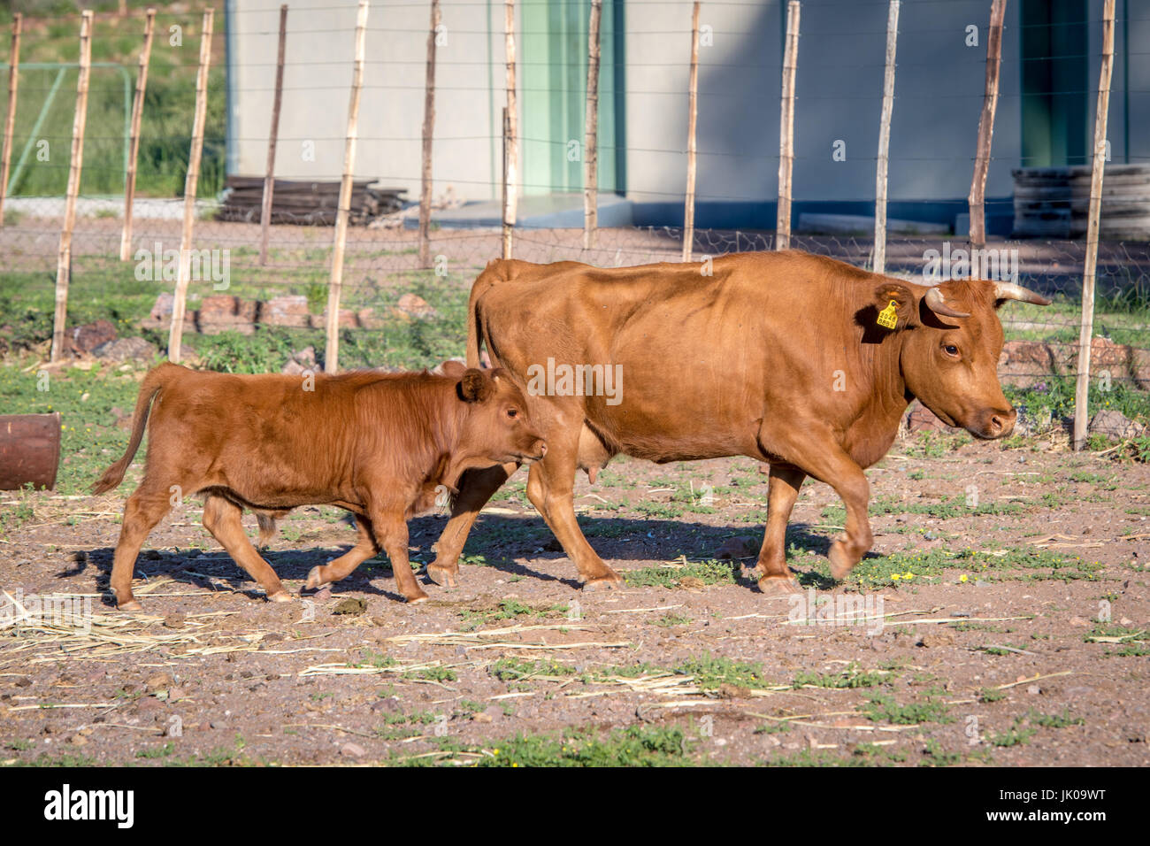 Leading Steer Stock Photos & Leading Steer Stock Images - Alamy