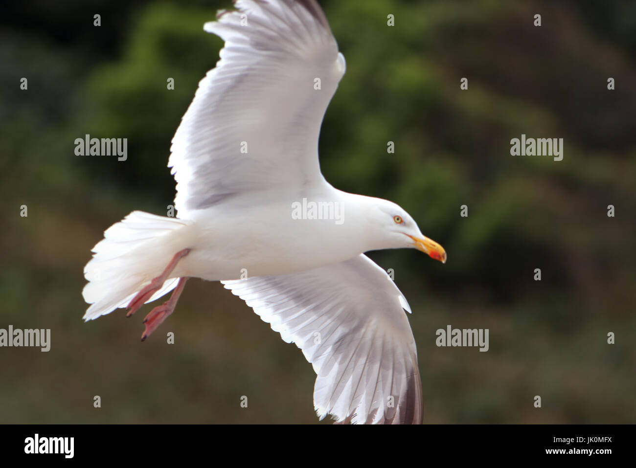Seagull soaring over the harbour at Port Isaac, Cornwall - Stock Image