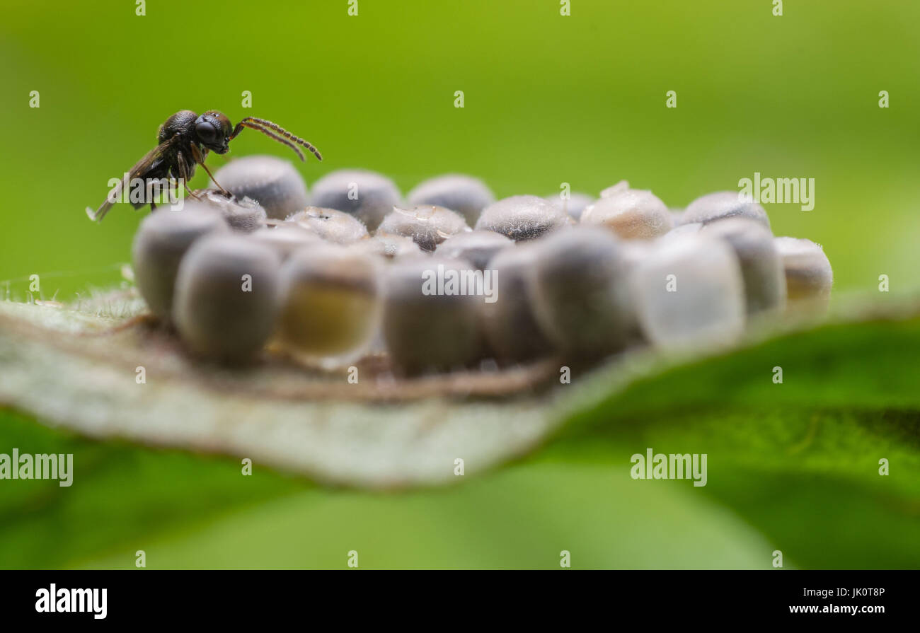 Close up of a recently hatched parasitic wasp on a cluster of shieldbug eggs. - Stock Image
