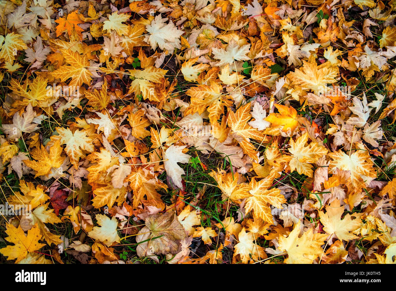maple leaves on the ground after the autumnal fall of leaves, ahornblaetter am boden nach dem herbstlichen laubfall Stock Photo