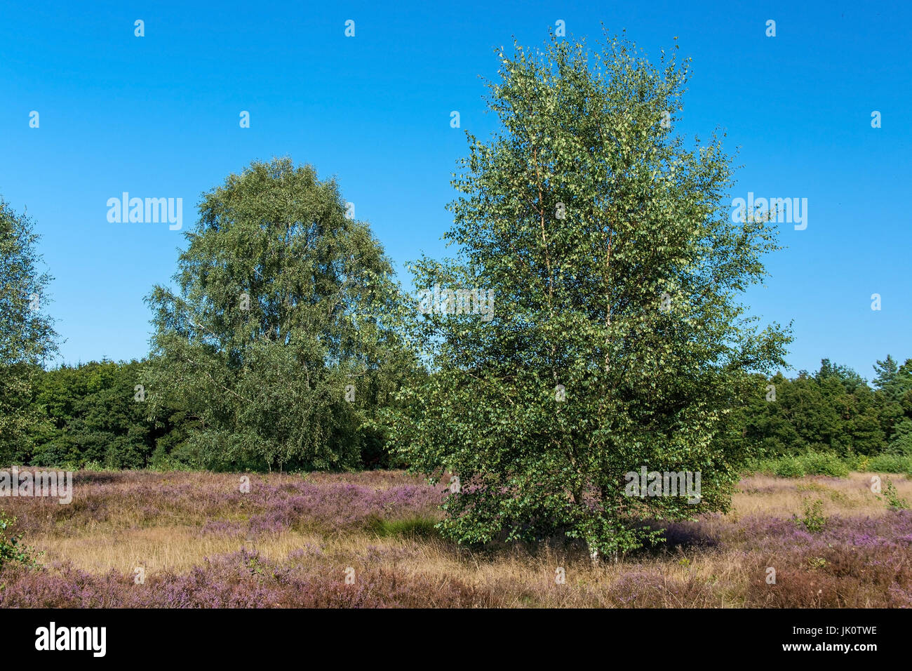 typical moor biotope, consisting of broom moor, bell moor and slope birches, typischer heidebiotop, bestehend aus - Stock Image