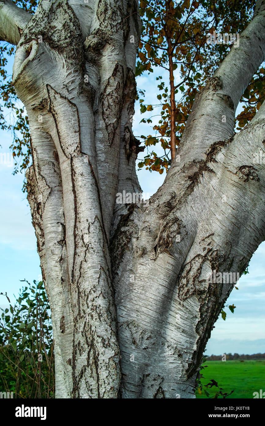 moor birch with typically across-streaky bark, moorbirke mit typisch querstreifiger rinde Stock Photo