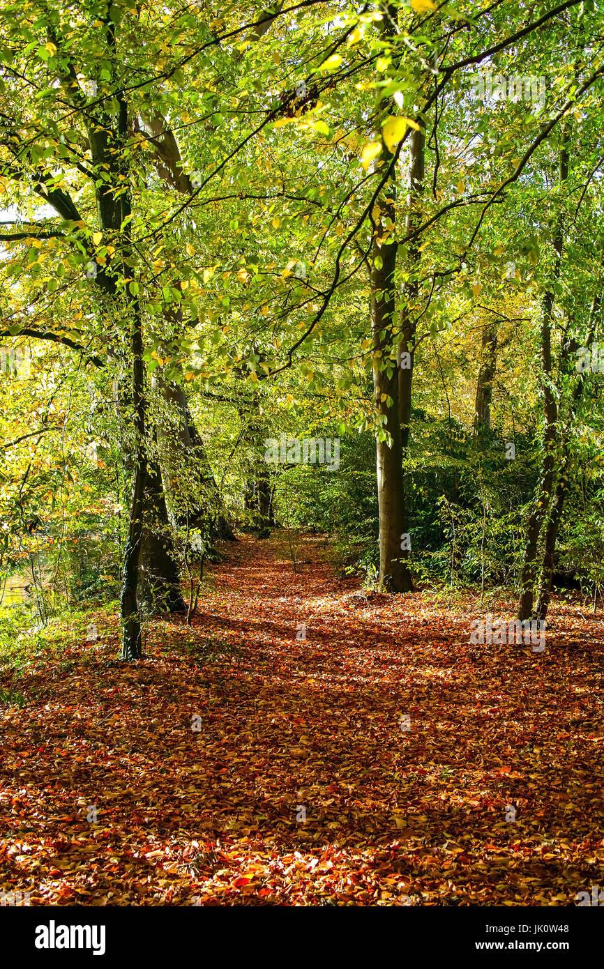 more autumnally away under book with faithfully to foliage, herbstlicher weg unter buchen mit laubstreu Stock Photo