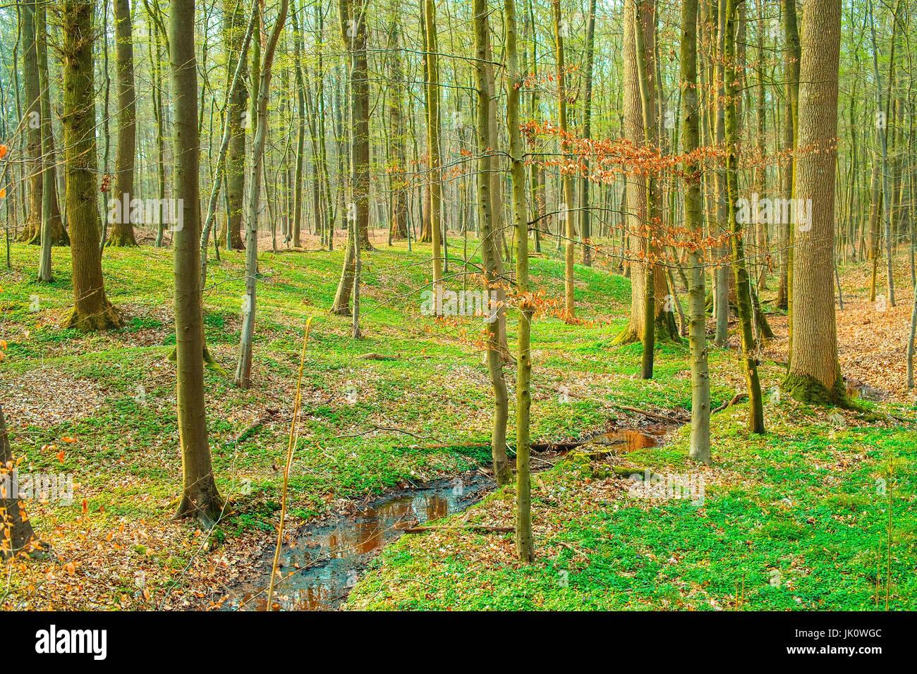 more unterfreely of growth beech-dominated mixed forest with small watercourse before light-robbing blattaustrieb, unterwuchsfreier buchendominierter  Stock Photo