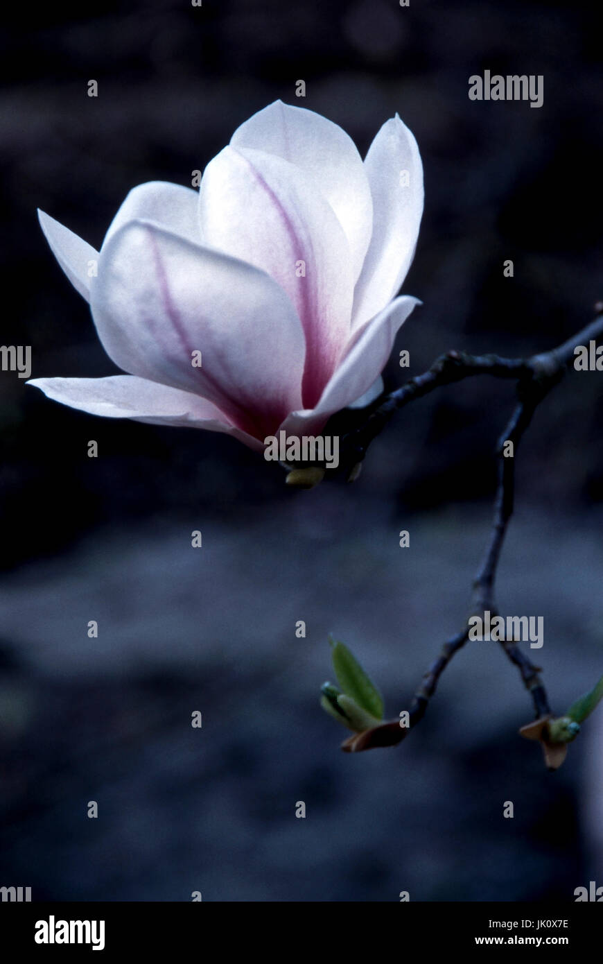 'white magnolia with mauve marks; text clearance. white magnolia with purple markings; negative space.', - Stock Image