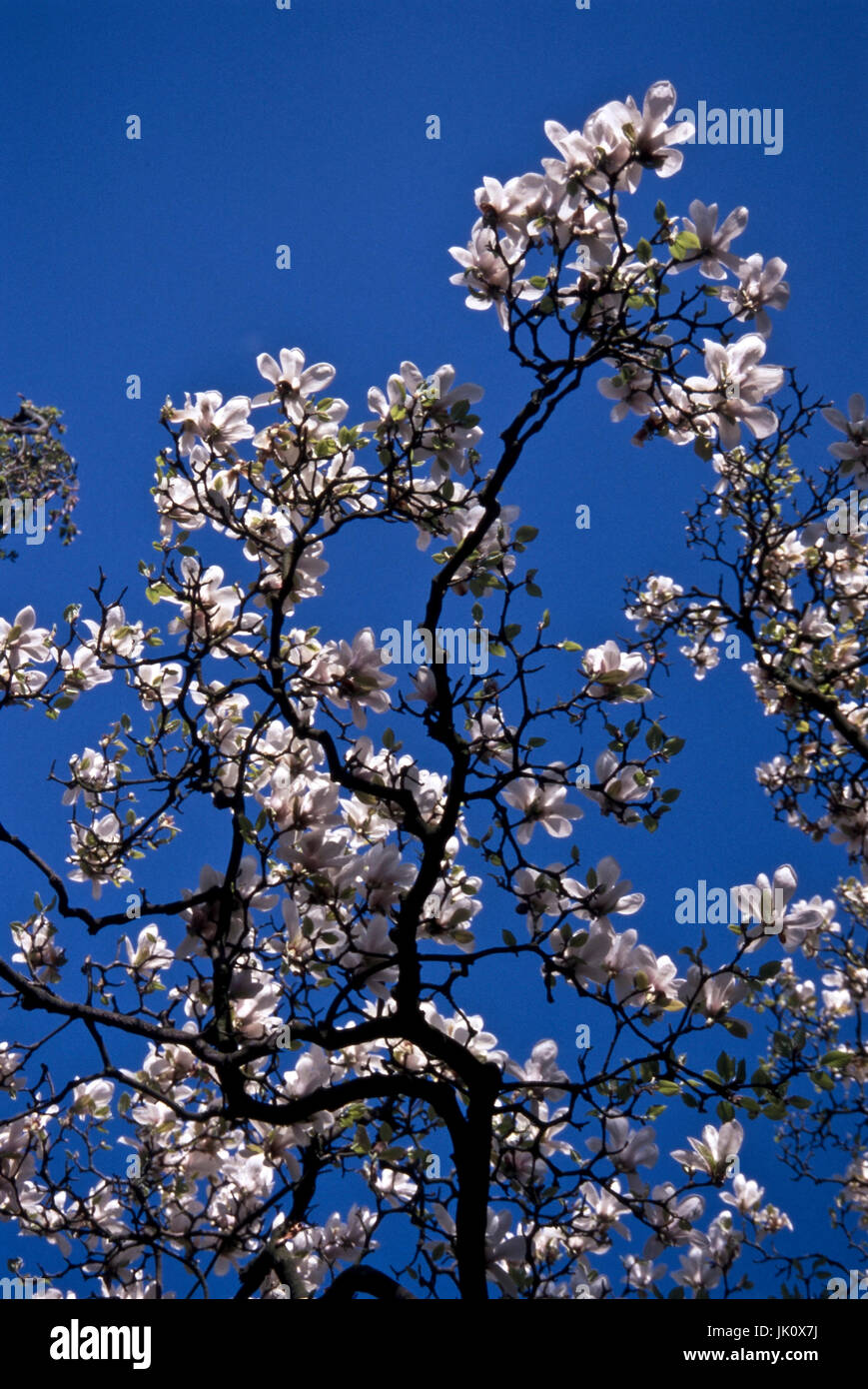 tree top of a blossoming magnolia against the blue sky. treetop of a flowering tulip-magnolia., baumkrone einer Stock Photo