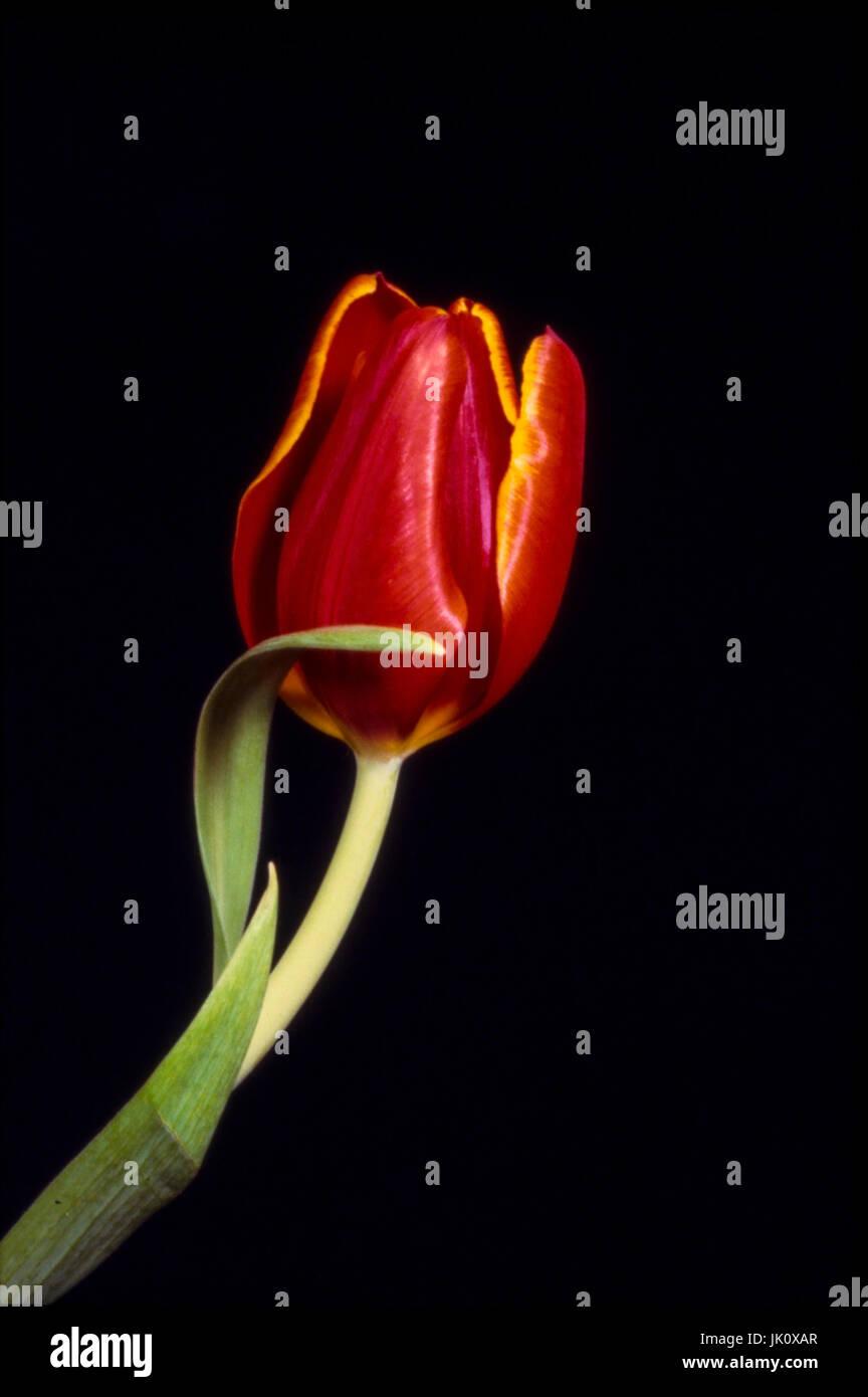 'single red tulip with gelbgerandeten petals before dark background. single red tulip with yellow rims; dark - Stock Image