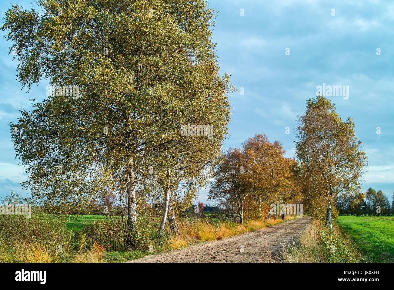 with moor birches passed sandy path in the moor at autumn beginning, mit moorbirken bestandener sandweg im moor zu herbstbeginn Stock Photo