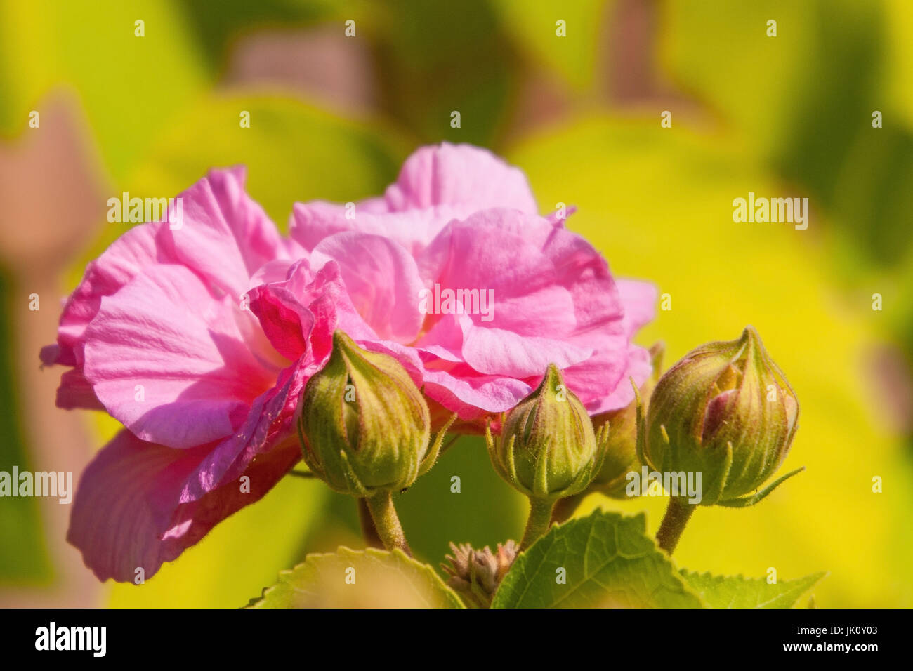 the hibiscus which get lost in to the flower maturity from white about pink after light-red umfaerbt, hibiscus, - Stock Image