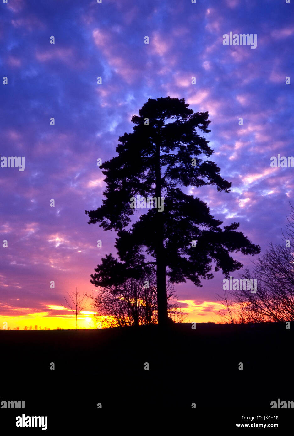 silhouette of a pine against the setting one suns itself. silhouette of a pine-tree against the setting sun., silhouette - Stock Image