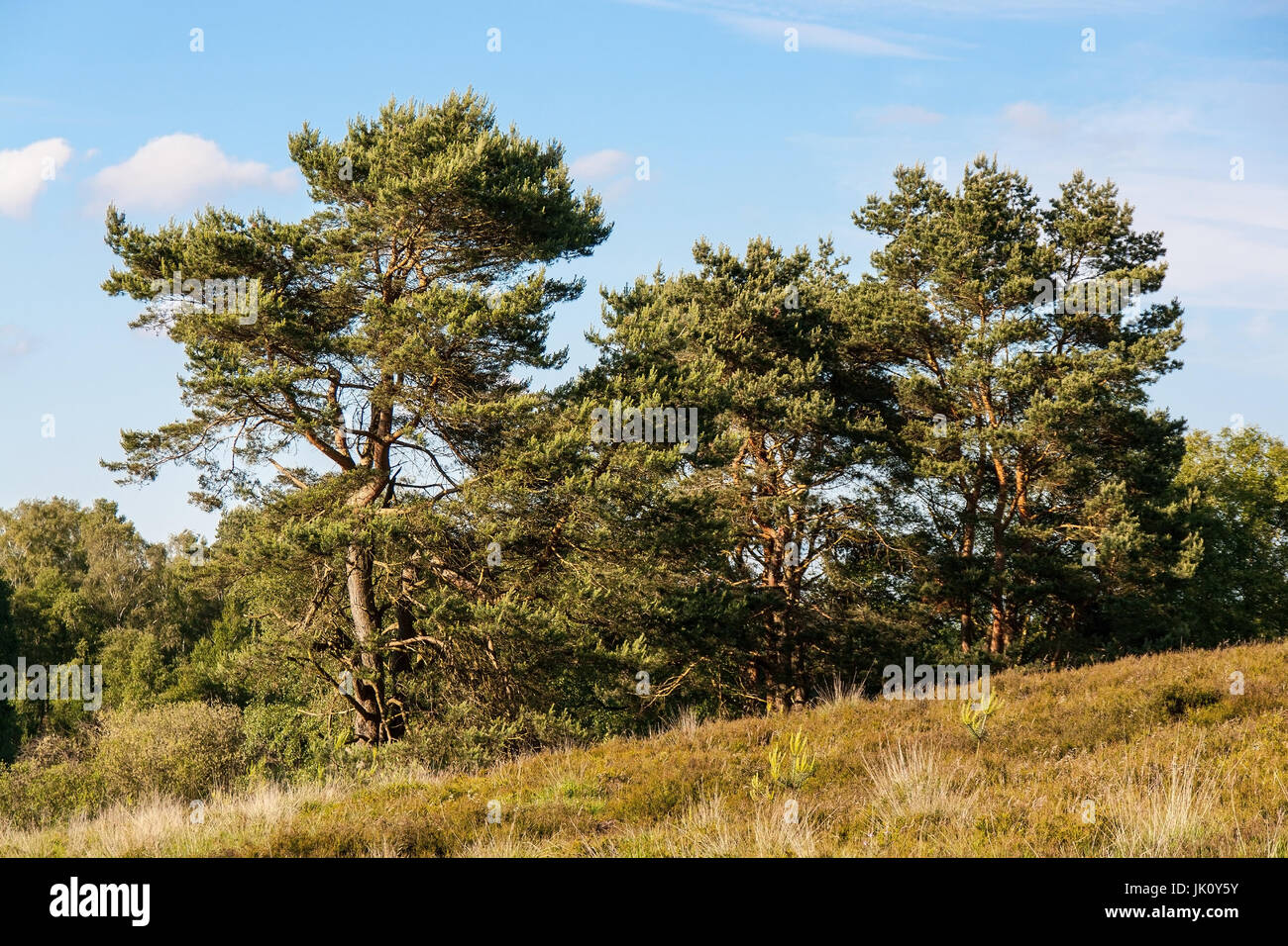 moor surface with growth by pines / foehren (pinus sylvestris), heideflaeche mit bewuchs durch kiefern/foehren (pinus - Stock Image
